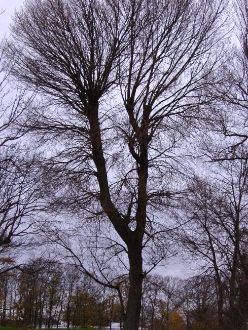 Black poplar
