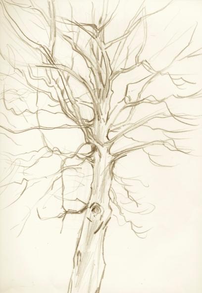 beech-tree-sketch